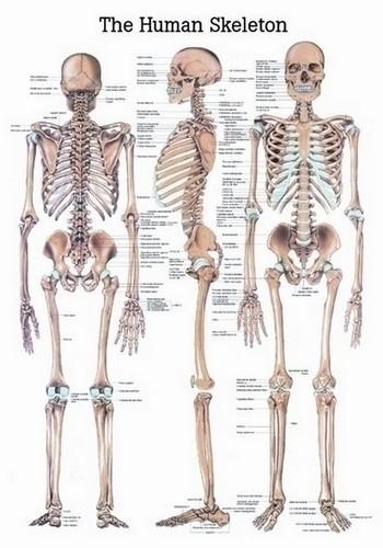 Poster - The Skeletal System