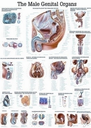 Poster - The Male Reproductive System