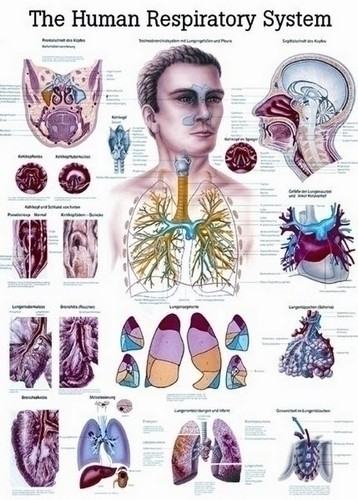 Poster - The Respiratory System