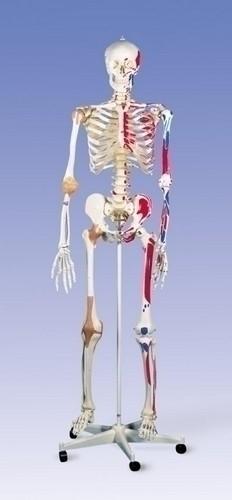 Super Skeleton Sam, on 5-Feet Roller Stand