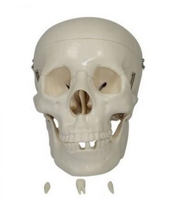 Life Size 3 part PVC Plastic Adult Skull