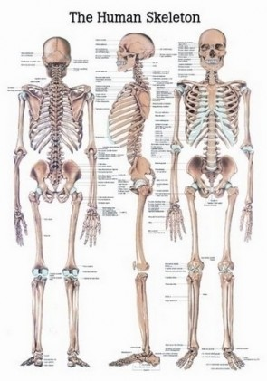 Poster - The Skeletal System