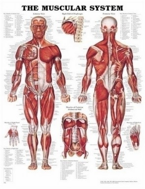 Poster - The Muscular System
