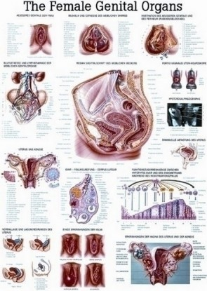 Poster - Female Reproductive System Anatomy