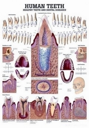Poster - Anatomy of The Teeth