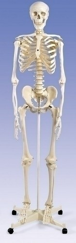 Stnd Skeleton Stan, on 4-Feet Roller Stand