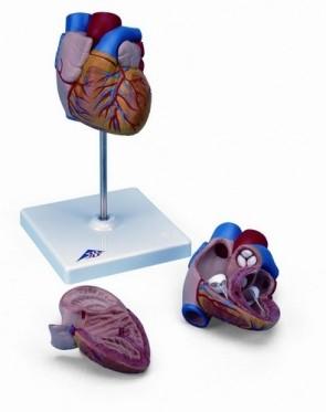Heart Model - 2 part